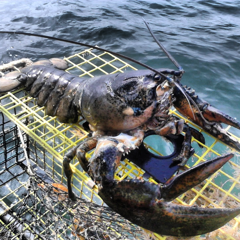 Maine lobster   SaltLife.me